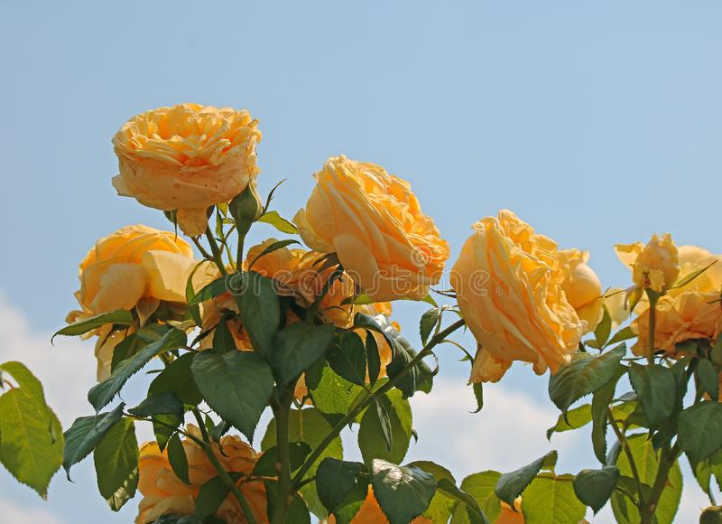 ŚWIATŁO SŁONECZNE NA JASKRAWYCH ŻÓŁTYCH różach PRZECIW niebieskiemu niebu fotografia stock