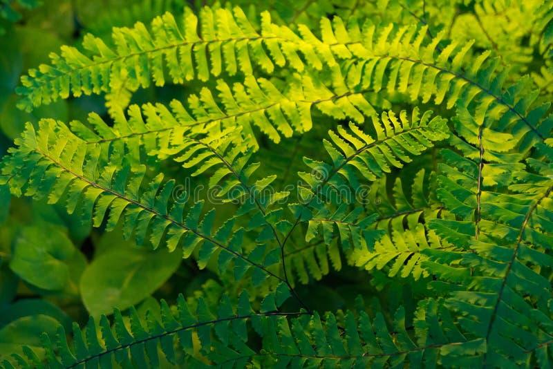 Światło słoneczne na Zielonych paprociach w cienia ogródzie obraz royalty free