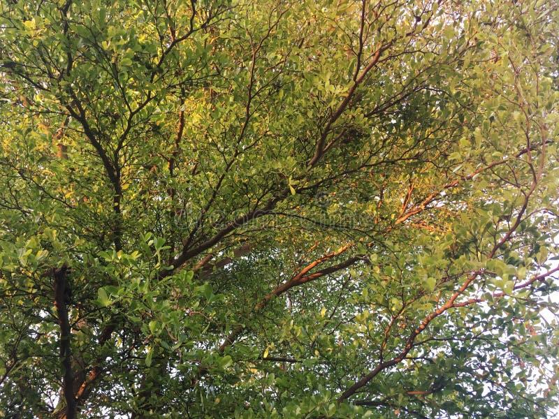 Światło słoneczne odbija na zieleni i żółtych liściach Terminalia ivorensis drzewo obraz stock