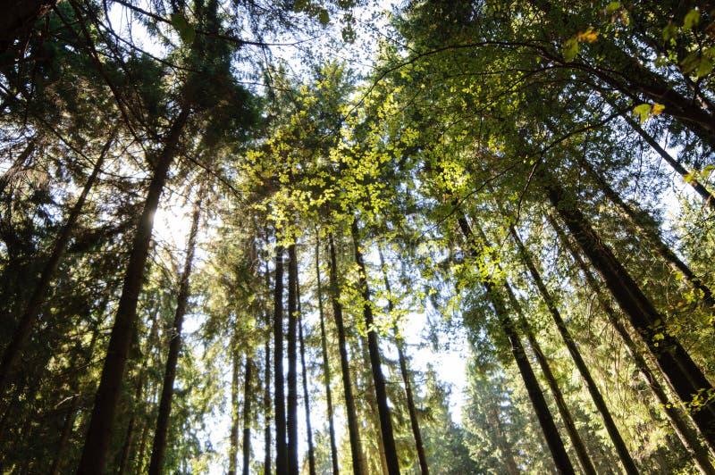 Światło słoneczne przez drzewnych wierzchołków zdjęcia royalty free