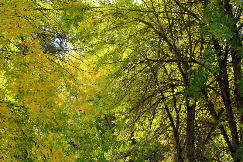Światło słoneczne przez spadki barwiących drzewo liści obrazy royalty free