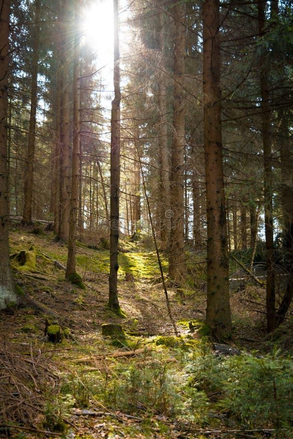 Światło słoneczne w iglastym lesie zdjęcie stock