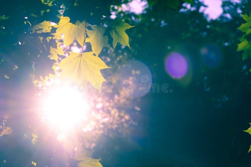 Światło słoneczne z obiektywu racy jaśnieniem przez klonowych liści zdjęcia stock