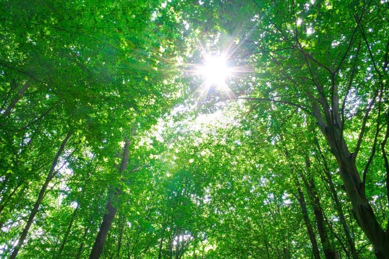 świateł słoneczne drzew leśnych obrazy royalty free