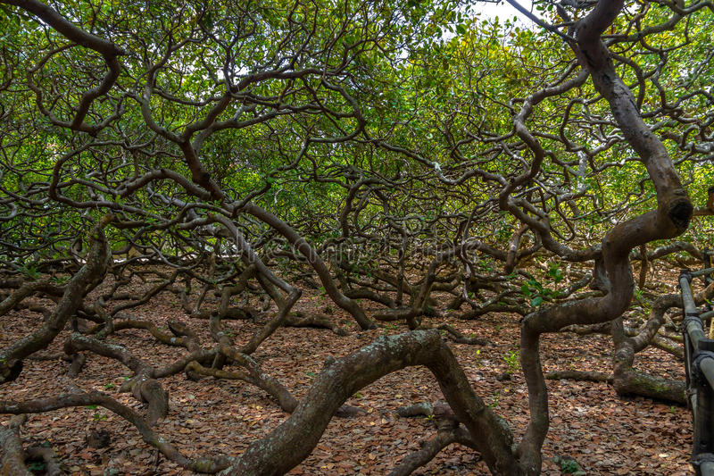Światowy ` s nerkodrzewu Wielki drzewo - Pirangi, rio grande robi Norte, Brazylia zdjęcie stock