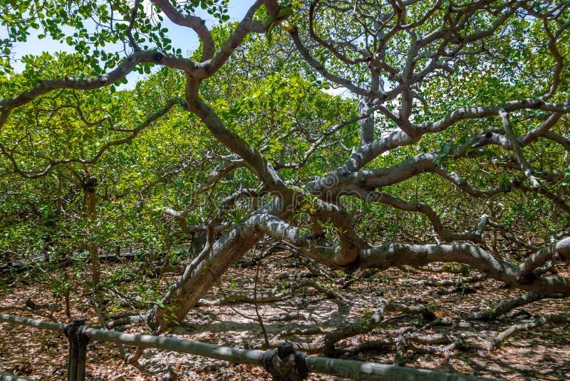 Światowy ` s nerkodrzewu Wielki drzewo - Pirangi, rio grande robi Norte, Brazylia obraz stock