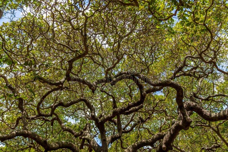 Światowy ` s nerkodrzewu Wielki drzewo - Pirangi, rio grande robi Norte, Brazylia fotografia stock