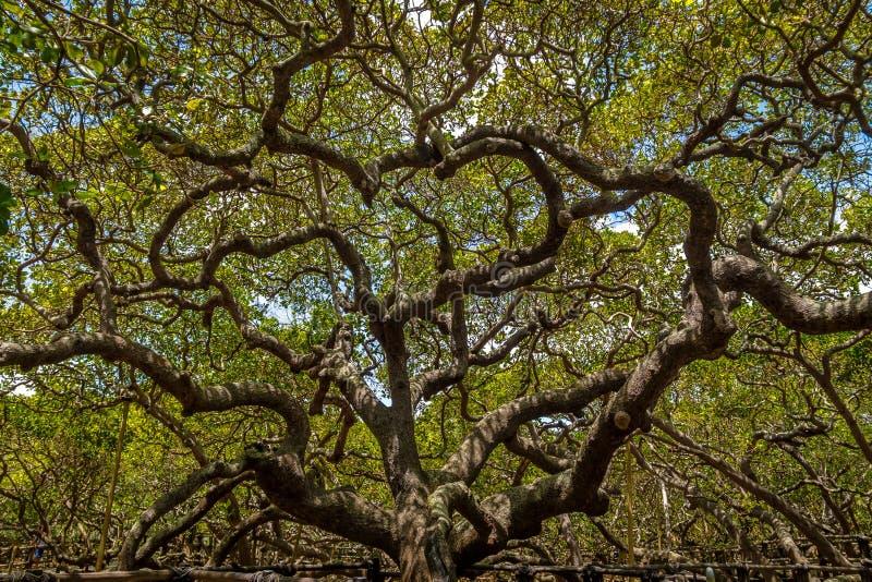 Światowy ` s nerkodrzewu Wielki drzewo - Pirangi, rio grande robi Norte, Brazylia zdjęcia royalty free