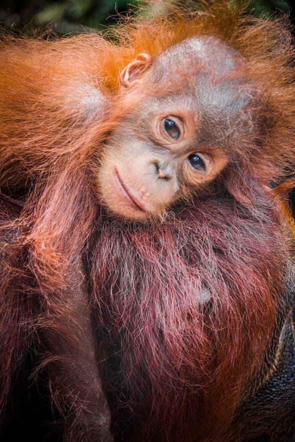 Światu dziecka śliczny orangutan snuggles z mamą w Borneo fotografia stock