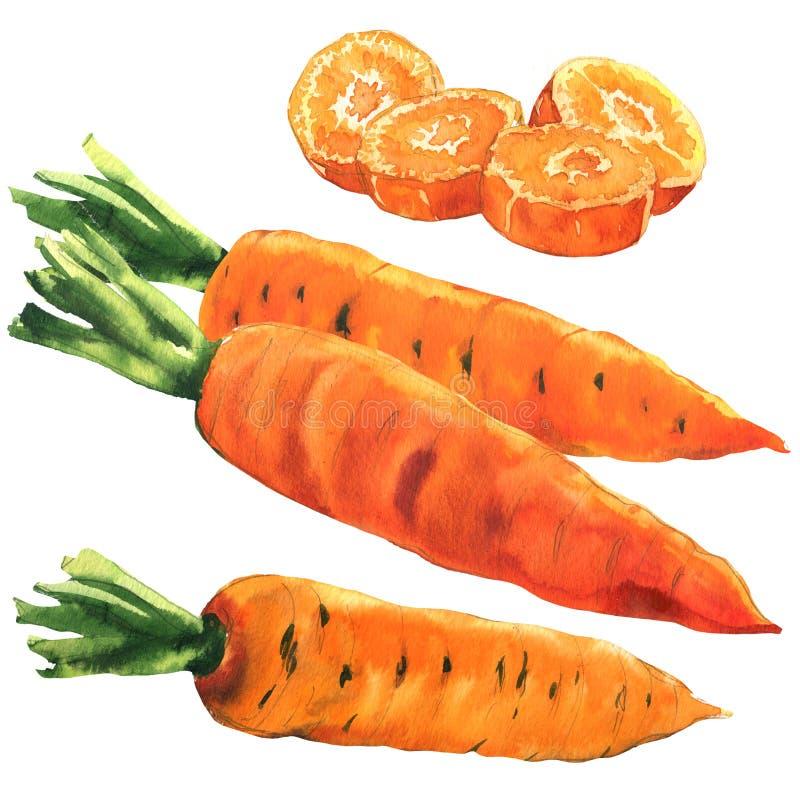 Świeża cała marchewka, ciie wokoło kawałków, ustawia marchewki, jedzenie, warzywo odizolowywający, ręka rysująca akwareli ilustra ilustracji