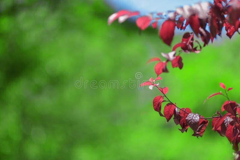 Świeża czerwień opuszcza na przestronnym zielonym tle kolorowy ulistnienie Pogodnego spadku lasowa ekologia, środowisko, zdrowia  zdjęcia stock