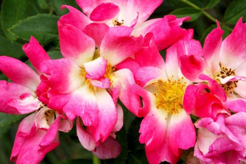 Świeża czerwieni i menchii róża zdjęcia royalty free