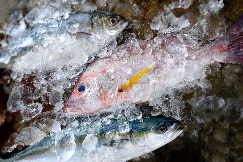 Świeża czerwony snapper ryba obraz royalty free