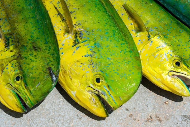Świeża delfin ryba zdjęcia royalty free