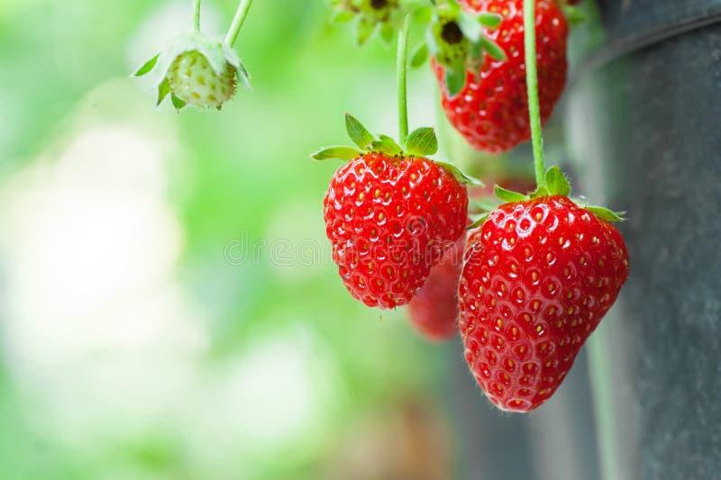 Świeża dojrzała organicznie truskawka na gałąź, ogrodowa owoc odizolowywająca zdjęcia stock