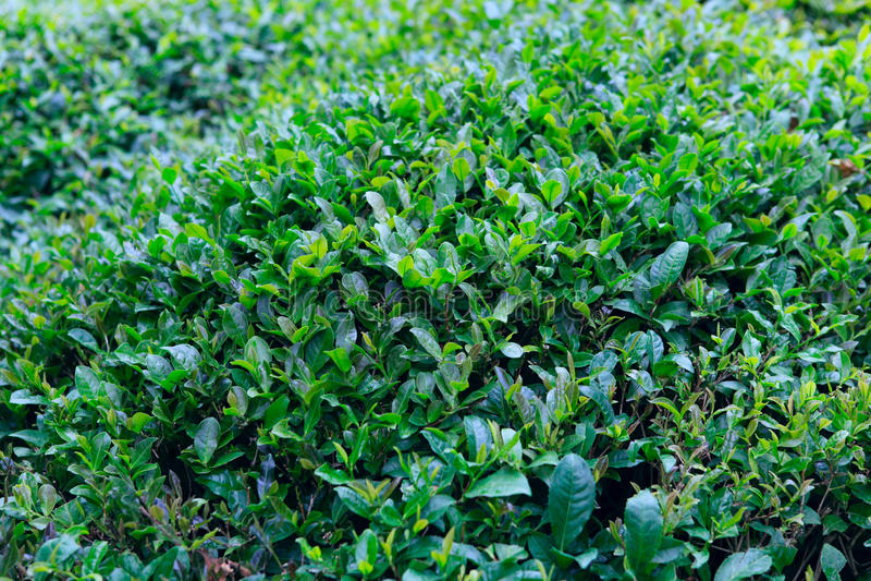 Świeża herbaciana roślina obraz stock
