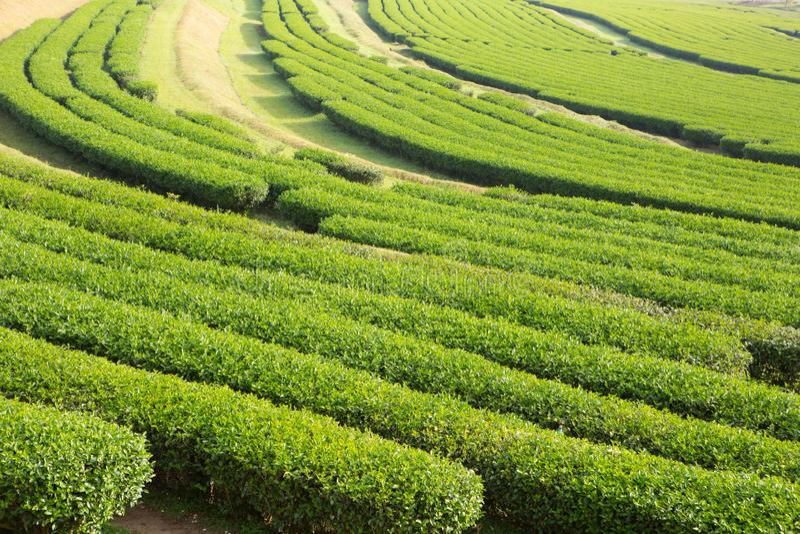 Świeża herbaciana roślina w gospodarstwie rolnym obraz stock