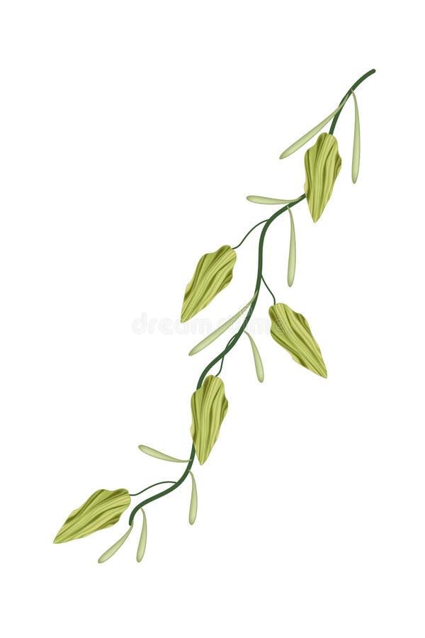 Świeża kardamon roślina na Białym tle ilustracja wektor