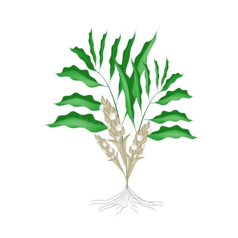 Świeża Kardamonowa roślina na Białym tle ilustracja wektor