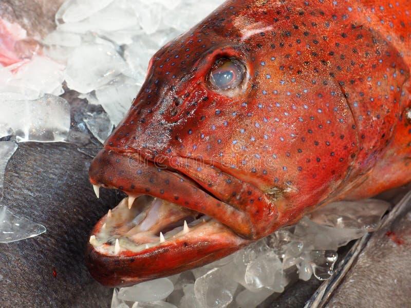 Świeża Koralowa pstrąg ryba na lodzie zdjęcia royalty free