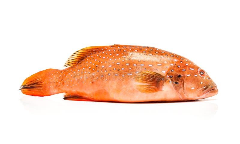 Świeża koralowa pstrąg ryba odizolowywająca na białym tle zdjęcia royalty free