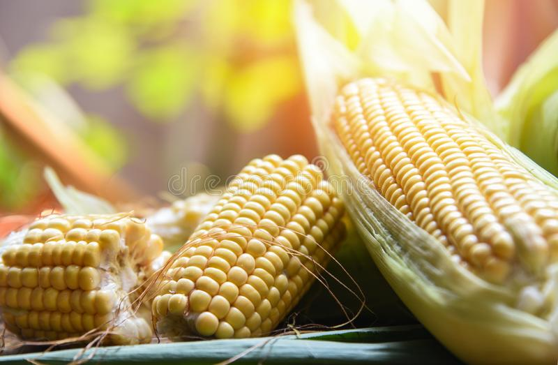 Świeża kukurudza na cobs i słodcy kukurydzani ucho na stołowym natury światła słonecznego tle zdjęcia royalty free