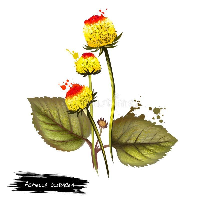 Świeża kwiatonośna Para cress roślina na białym tle Acmella oleracea jest gatunki kwiatonośny ziele Błonie wymienia toothache obraz stock