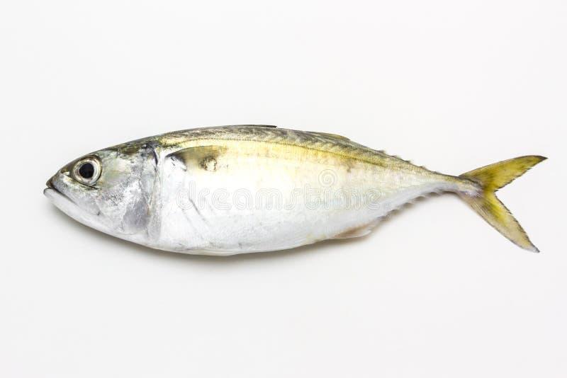 Świeża makreli ryba zdjęcia stock