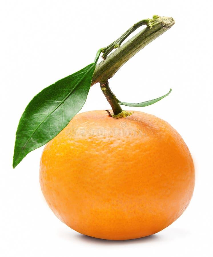 Świeża mandarynka na gałąź z zielonymi liśćmi jaskrawe kolory zdjęcia royalty free