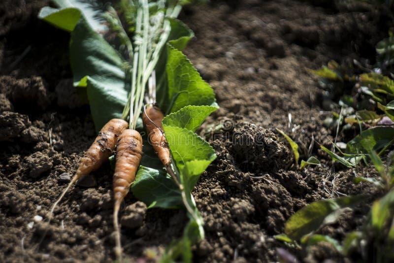 Świeża marchewka przy glebowym tłem, rolnik stylowa fotografia zdjęcia stock