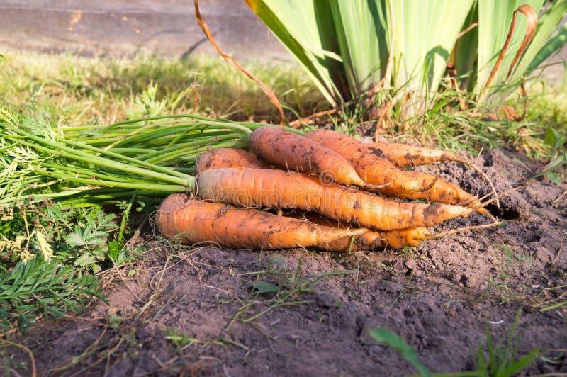 Świeża marchewka w jesieni gospodarstwie rolnym zdjęcie royalty free