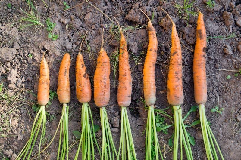 Świeża marchewka w jesieni gospodarstwie rolnym obrazy stock