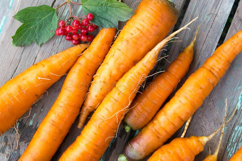 Świeża marchewka w jesieni gospodarstwie rolnym obraz royalty free