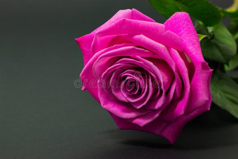 Świeża menchii róża zamknięta w górę ciemnego tła kwiecistego tła na fotografia royalty free