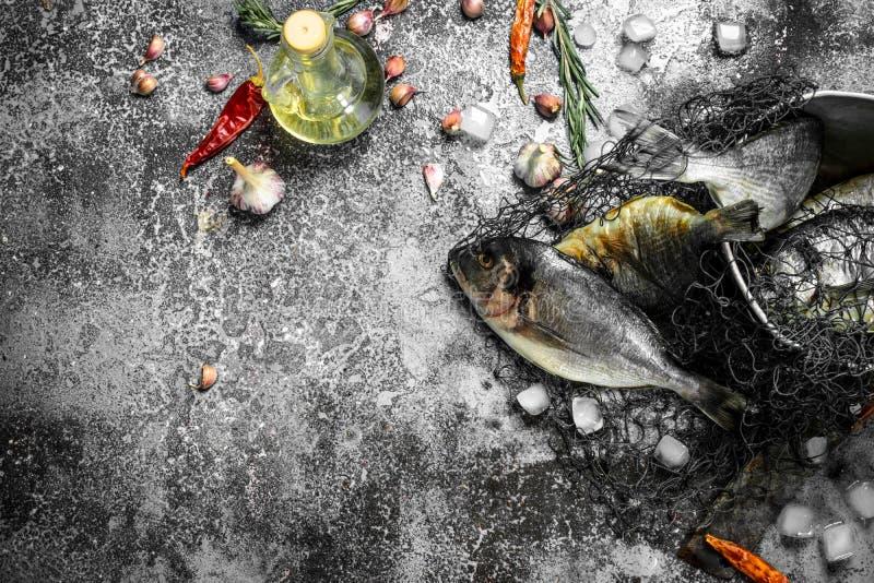 Świeża nieprzygotowana Dorado ryba w starym wiadrze z siecią rybacką fotografia royalty free