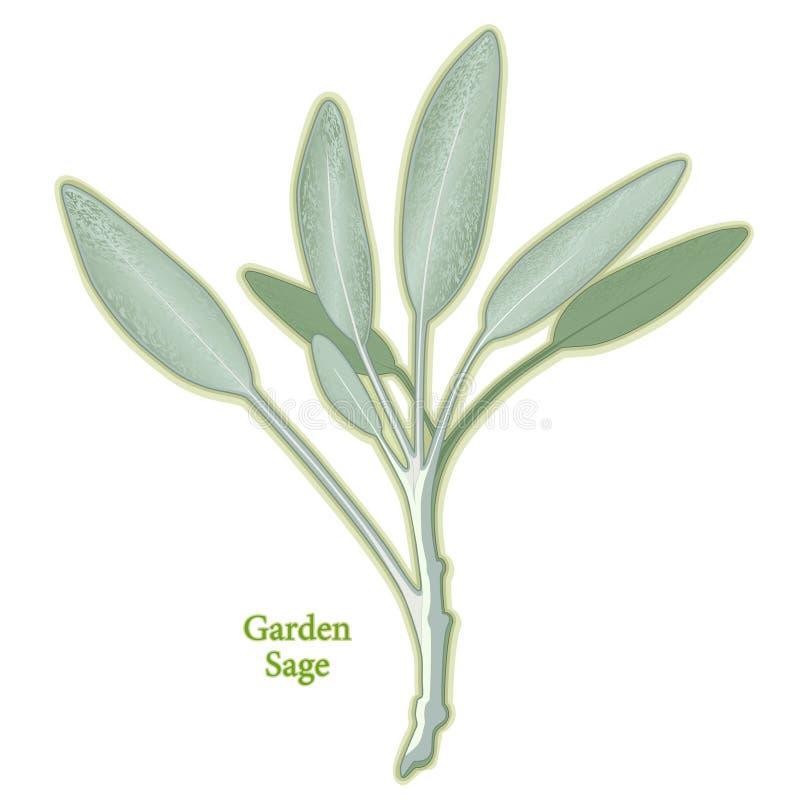 świeża ogrodowa zielarska mędrzec ilustracja wektor