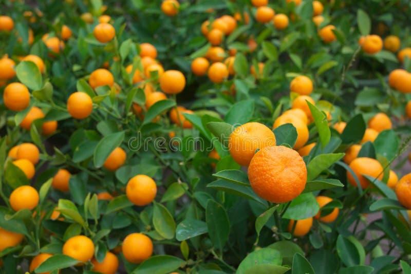 świeża pomarańcze obrazy stock