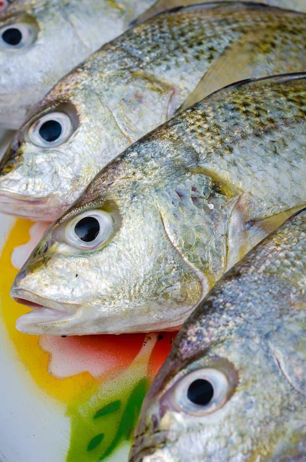 Świeża Prążkowana Srebna chrząknięcie ryba dla Gotować zdjęcie royalty free