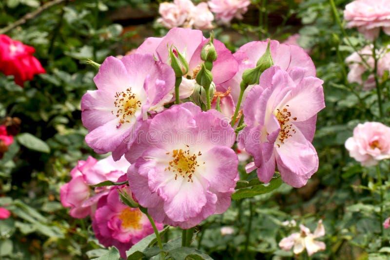 Świeża purpurowa różyczka obraz royalty free