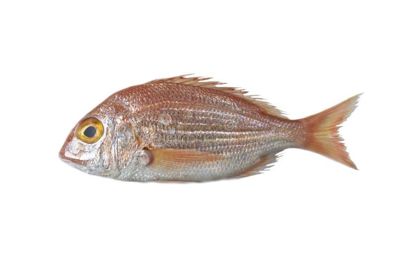 Świeża ryba, czerwony snapper obrazy royalty free