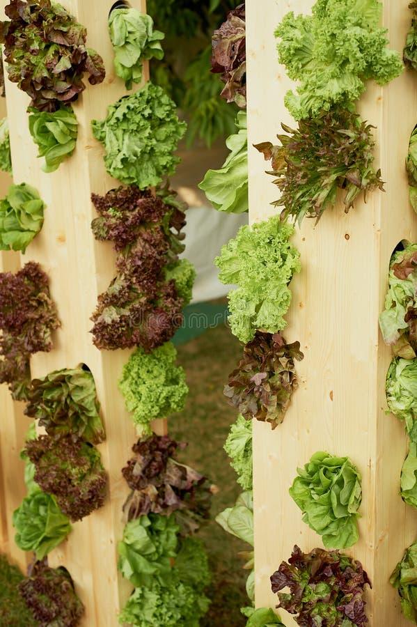 Świeża sałatka w drewnianych łóżkach Kompetentny ogrodnictwo zdjęcie stock