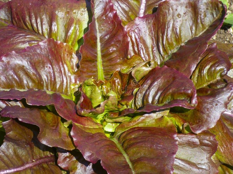 Świeża sałaty sałatka opuszcza w lata świetle słonecznym fotografia stock