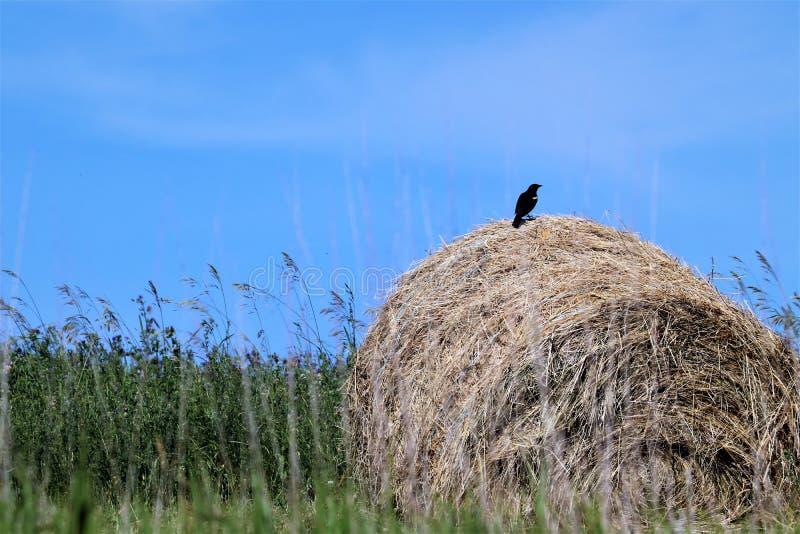 Świeża siano kaucja i czerwony skrzydłowy czarny ptak obrazy royalty free