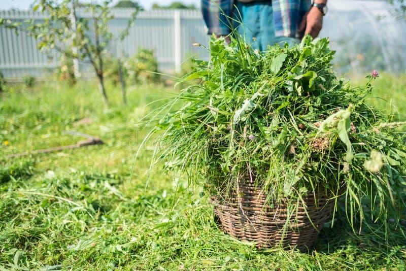 Świeża skoszona trawa jest w koszu, kosa, sąsiek trawa z handtool, handmade, przestarzała metoda, wieś, Ukraina obraz royalty free