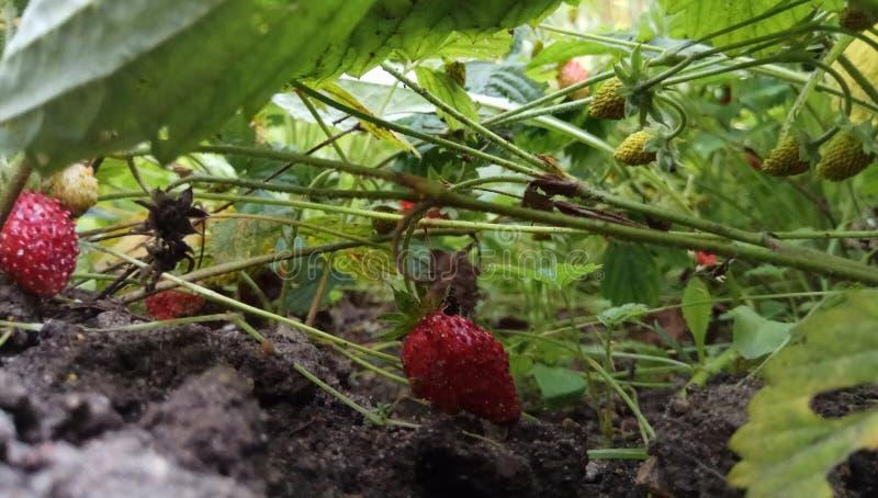 Świeża soczysta jaskrawa czerwona truskawkowa jagoda na jesieni trawie pod światła słonecznego naturalnego tła tapetą makro- zdjęcia royalty free