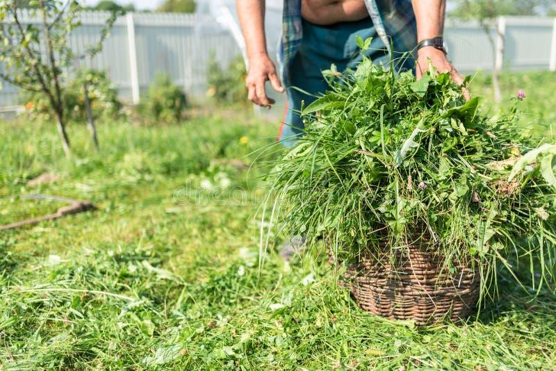 Świeża trawa w koszu, kosa na skoszonej trawie, stary człowiek na tle zdjęcie royalty free