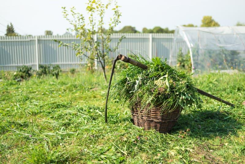 Świeża trawa w koszu przestarzałym handtool i - kosa, wioska zdjęcia stock