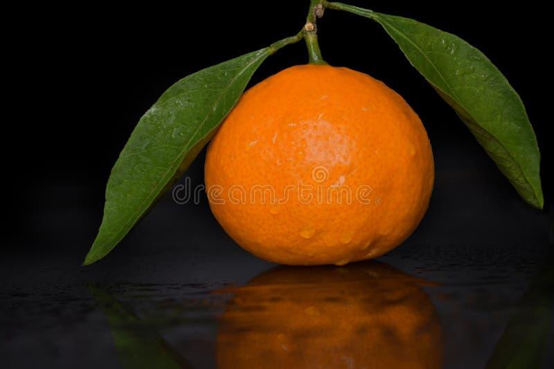 Świeża tropikalna mandarynka na gałązce z zieleń liśćmi i rosa krople na łupie fotografia stock