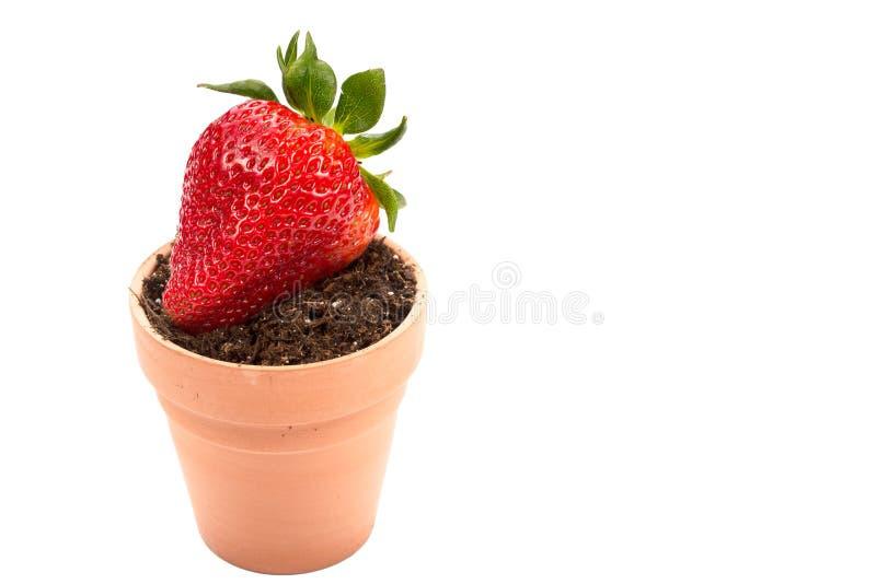 Świeża truskawki ziemia, plantator i zdjęcie royalty free