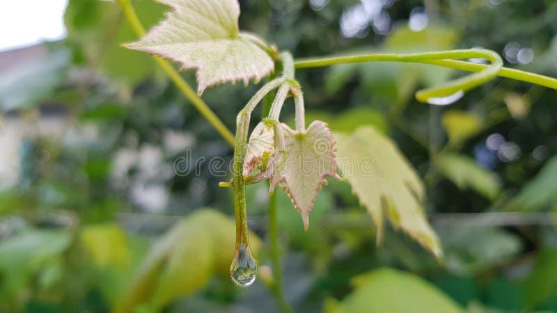 Świeża winograd gałąź z małymi żółtej zieleni liśćmi i wodą opuszcza po deszczu fotografia stock